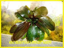 Planta de acuario, gambario. Echinodorus Ozelot RED ( ROJA)