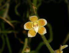 New listing Wow Orchid ( Chiloschista extinctoriformis ) species miniature plant Thai