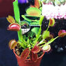WR_ 100Pcs Dionaea Seeds Muscipula Giant Clip Venus Fly Trap Insectivorou Seed F