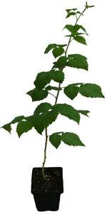 Violette Himbeere - GLEN COE - Pflanze Massenertrag dornenlos Purple Raspberry