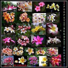❀⊱ ✾ Plumeria Frangipani ❁ ✿ híbrido de mezcla de casa de interior planta ✿ 10 Semillas Ƹ Ӝ Ʒ ⊰❀ 2