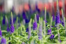 Veronica blue 50 Seeds- Beautiful spikes of blue flowers