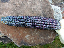 Tesuque Blue Hard Kernel (seed for planting, not ears of corn)