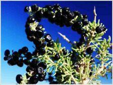 BLACK GOJI Berry Lycium Ruthenicum FRUIT 20 Seeds RARE + GIFT SEEDS