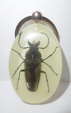Insect Large Key Ring Gray Trictenotomid Beetle Trictenotoma davidi Glow