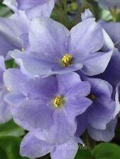 African Violet Rhapsodie Clementine - Starter Plant - Last One