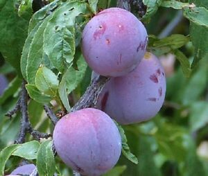 5 x Damson seeds, wild plum (prunus domestica)