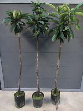 Eriobotrya japonica - japanische Wollmispel - Frostharte Pflanze 150-170cm Nespo