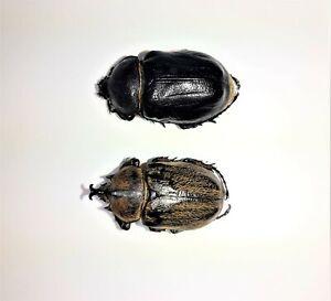 Megasoma vogti pair male 39,  female 40 mm