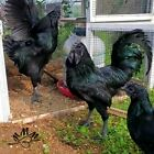 6 Ayam Cemani Hatching Eggs