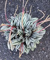 """Large Peperomia Rosso / 6"""" Pot / Live Plant / House Plant /"""