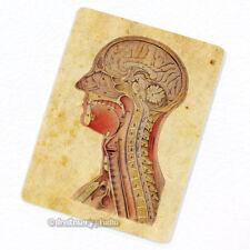 Internal Structures of Human Head #2 Deco Magnet, Fridge Vintage Anatomy Medical