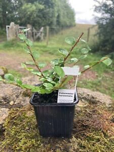 Cotoneaster horizontalis (Wall cotoneaster) Hardy Shrub in 8cm pot