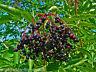 """Schwarzer Holunder Sambucus nigra  100 exotische Samen """" ALLES NUR 1 EURO"""""""