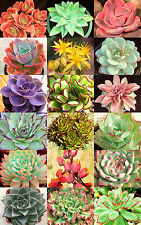 HENS AND CHICKS variety mix rare houseleeks  succulent flowering seed 50 seeds