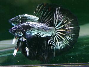 Premium Live Betta Fish l Male Halfmoon Copper Dragon Black Head Plakat