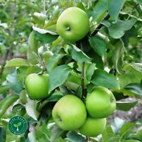 5 seeds of Green Apple - MALUS DOMESTICA + GIFT 5 seeds Sunflower