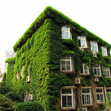 100 pcs/Pack Green Boston Ivy Seeds Ivy Seed For DIY Home & Garden Outdoor Plant