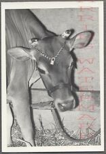 Vintage Photo Locking Horns Cow in Stable 767305
