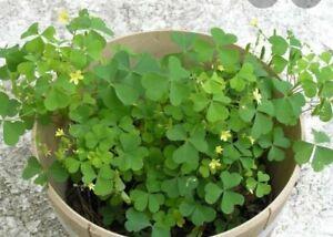 100+ Organic Yellow Wood-Sorrel Seeds ~Oxalis stricta~ Edible, Medicinal & Tea.