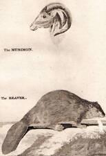 1776 FANION Griffiths misomon et Beaver fine cuivre GRAVURE ANTIQUE PRINT