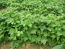 50+Provider Bush Beans Seeds American Heirloom Stringless Provides All Summer