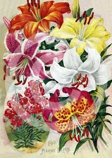 Hardy Lilies Shabby Vintage Old heirloom Lilly Flowers New Photo Print #19