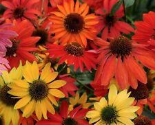 Cheyenne Spirit Coneflower - 10 Seeds - 2013 Aas Winner - Echinacea