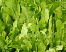 1Lb Chicory Food Plot Seed 480,000 Seeds