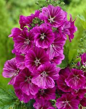 HOLLYHOCK MALLOW MYSTIC MERLIN BEAUTIFUL HARDY PERENNIAL SPECIES 30 SEEDS