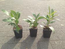 10 Kirschlorbeer Prunus Herbergii Jungpflanzen Heckenpflanzen im Topf 15-20cm
