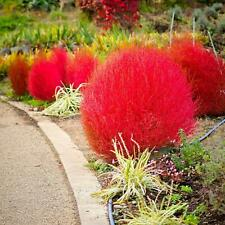 Usa Seller 50 Burning Bush Shrub Seeds Red Garden Plants
