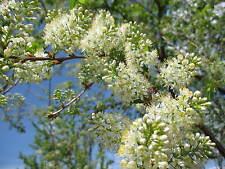 5 graines de CERISIER DE L'AMOUR (Prunus Maackii)G893 MANCHURIAN CHERRY SEEDS