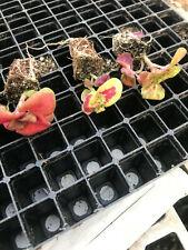 Garden Plants / Coleus plant plugs (3)