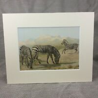 1894 Antique Animal Print Wild African Zebra Natural History Chromolithograph