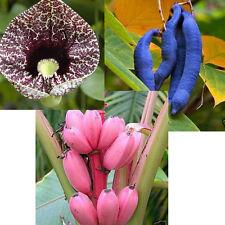 Blaugurke - rosa Banane - Gespensterpflanze: drei ungewöhnliche Pflanzen im Set