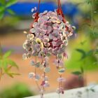 Variegated String of Hearts - Ceropegia woodii succulent plants