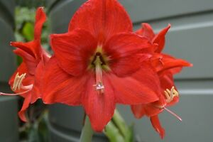 Hippeastrums - Red (amaryllis - hippeastrum cultivars) 10 Reliable Viable Seeds