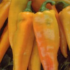 Pepper (Sweet) Astor F1 Kings's Seeds (RHS Award of Garden Merit)