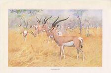 Grant-Gazelle  (Nanger granti / Gazella granti ) Gazelle Afrika Farbdruck 1916