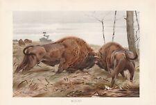Wisent Wisente im Kampf Lithographie von 1890 Wilhelm Kuhnert European bison