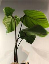 --Large Philodendron Nangaritense--Rooted--Rare--Aroid-- Plant--UNIQUE--Araceae