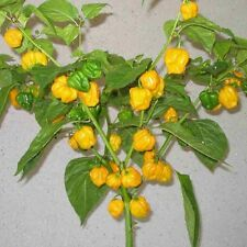Trinidad scorpion Moruga yellow Jaune ultrascharfe Chilli morouga