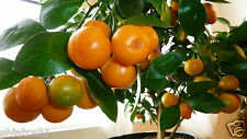 Live grafted -NAGPUR - Orange- plant , SFP-323, 1 FEET  HEIGHT WITH POLY PACK