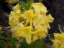 Rhododendron GOLDEN Flare in 9cm vaso a foglie decidue Azalea