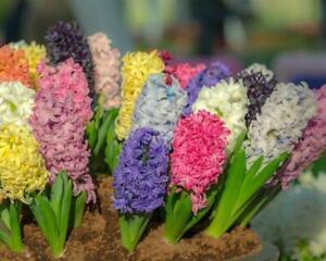 Hyacinth mixed - 7 Bulbs Per Pack 25 cm