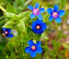 PIMPERNEL BLUE Anagallis Monelli - 1,000 Bulk Seeds