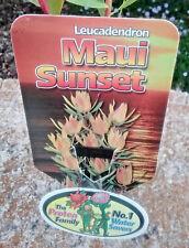 Leucadendron Maui Sunset in 75mm tube (Leucadendron and Protea) cut flower