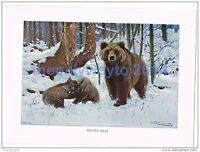 BROWN BEAR, BOOK ILLUSTRATION (PRINT), LYDEKKER, c1916