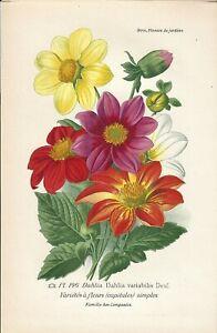 Stampa antica FIORI DALIA Dahlia variabilis botanica 1896 Antique print